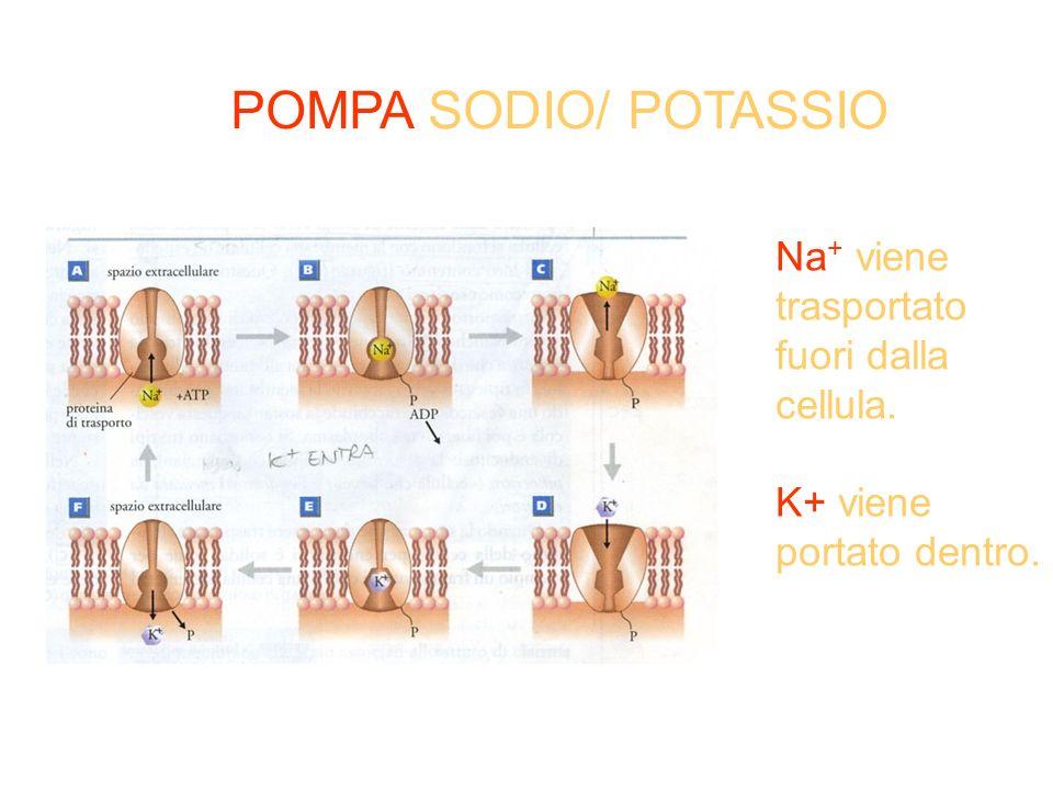 POMPA SODIO/ POTASSIO Na+ viene trasportato fuori dalla cellula.