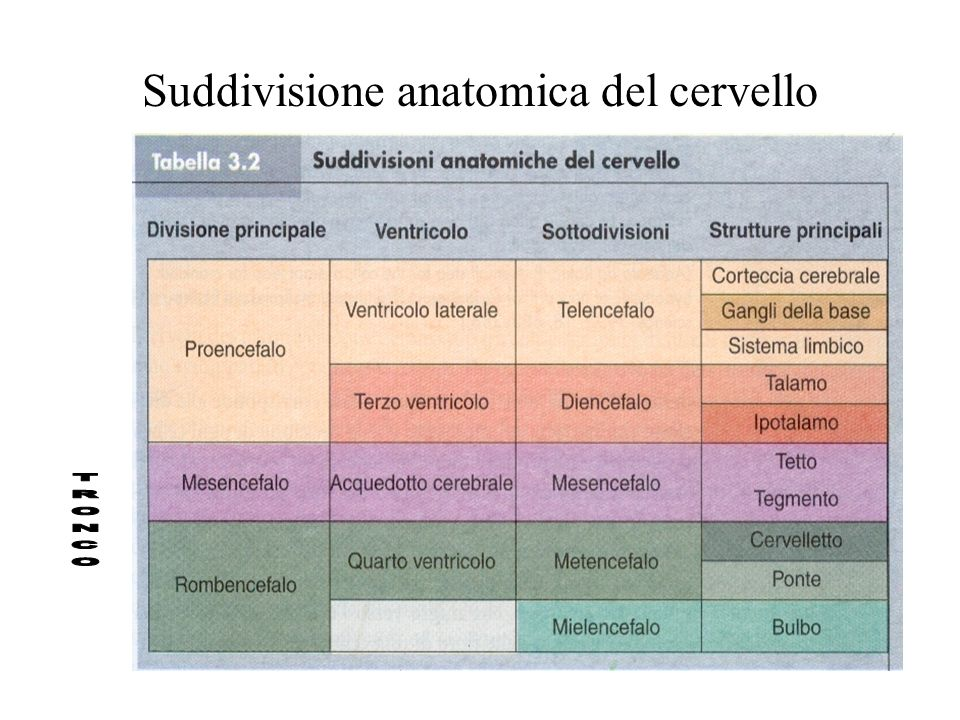 Suddivisione anatomica del cervello