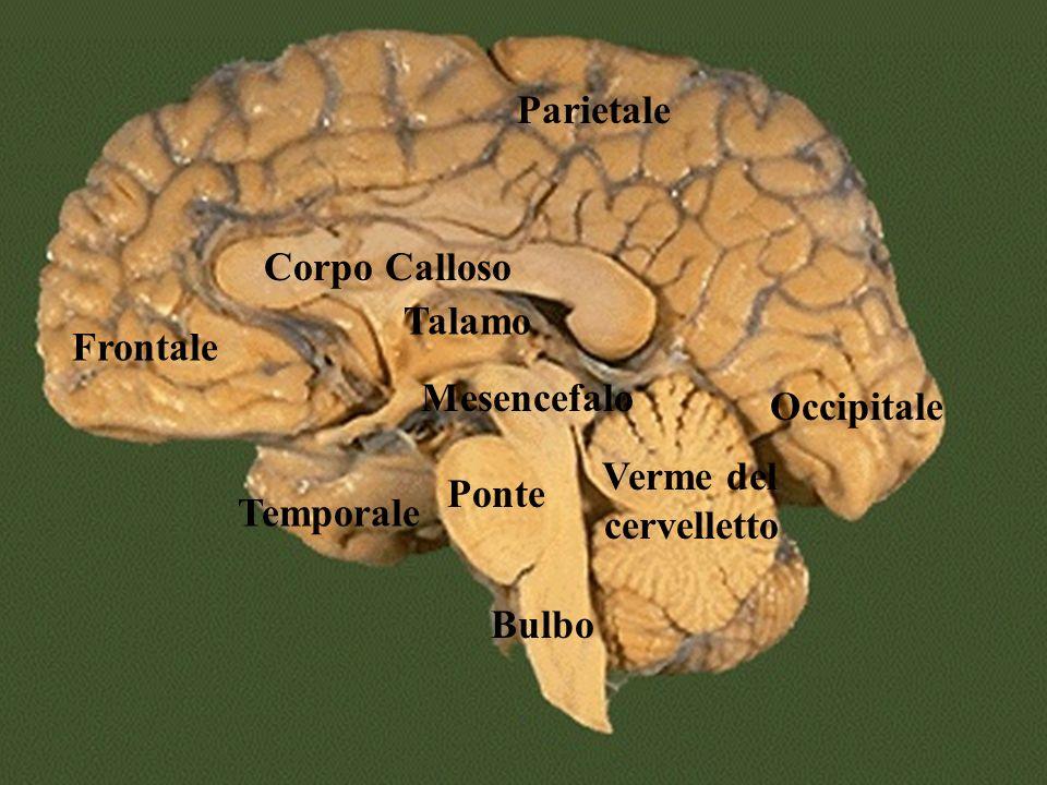 Parietale Corpo Calloso. Talamo. Frontale. Mesencefalo. Occipitale. Verme del cervelletto. Ponte.