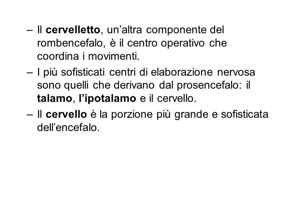 Il cervelletto, un'altra componente del rombencefalo, è il centro operativo che coordina i movimenti.