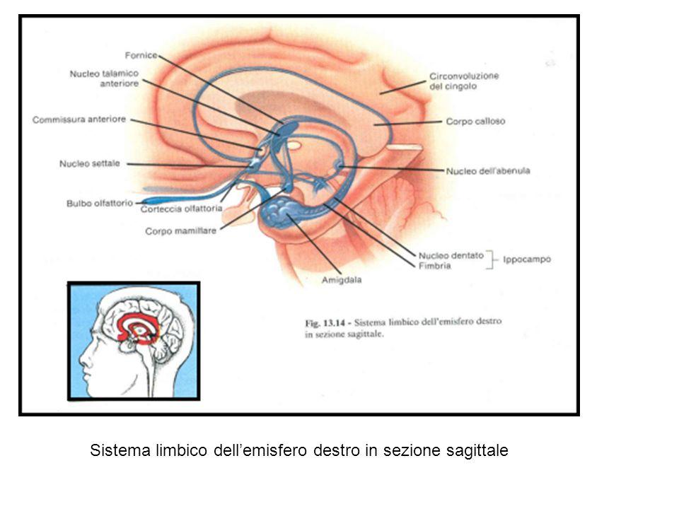 Sistema limbico dell'emisfero destro in sezione sagittale
