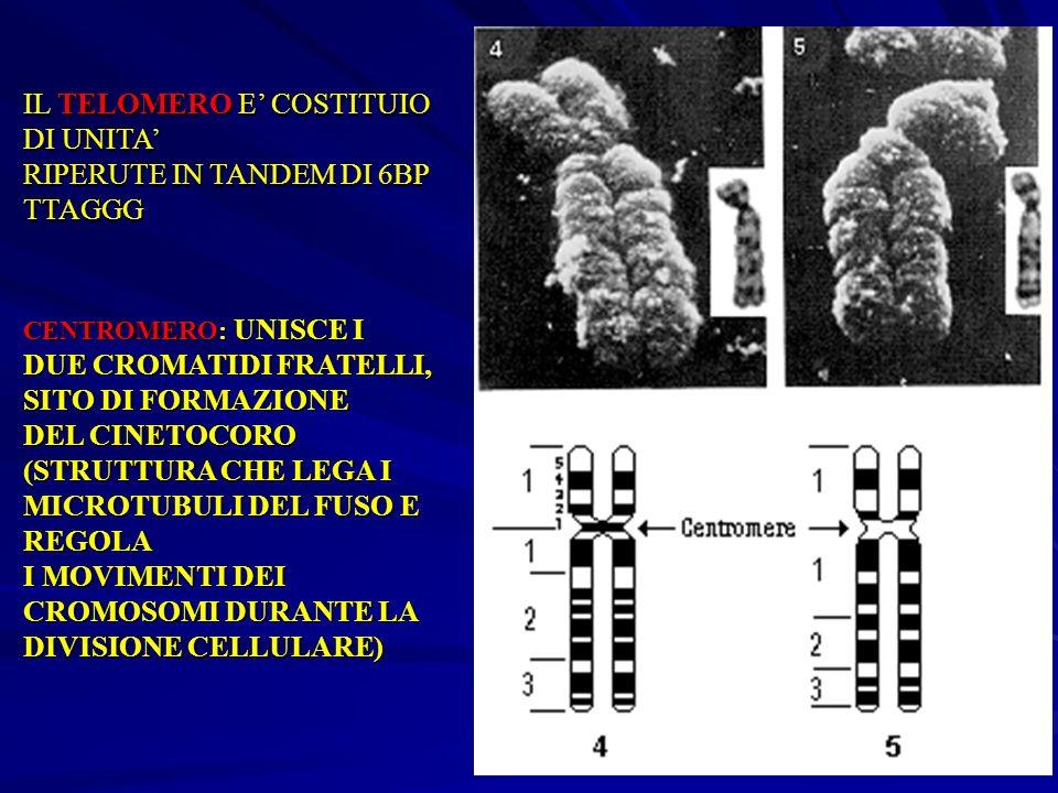 IL TELOMERO E' COSTITUIO DI UNITA' RIPERUTE IN TANDEM DI 6BP TTAGGG