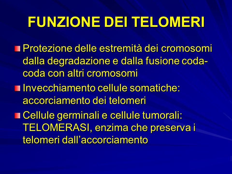 FUNZIONE DEI TELOMERIProtezione delle estremità dei cromosomi dalla degradazione e dalla fusione coda-coda con altri cromosomi.