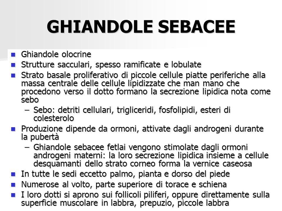 GHIANDOLE SEBACEE Ghiandole olocrine