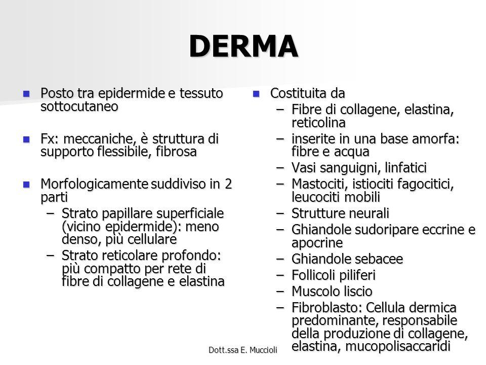 DERMA Posto tra epidermide e tessuto sottocutaneo
