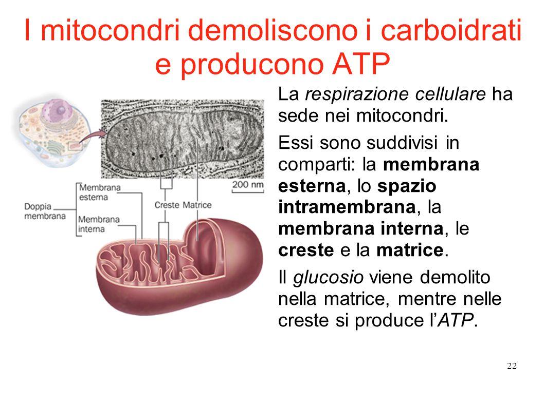I mitocondri demoliscono i carboidrati e producono ATP