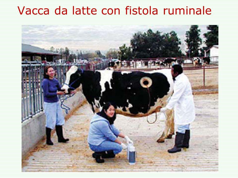 Vacca da latte con fistola ruminale