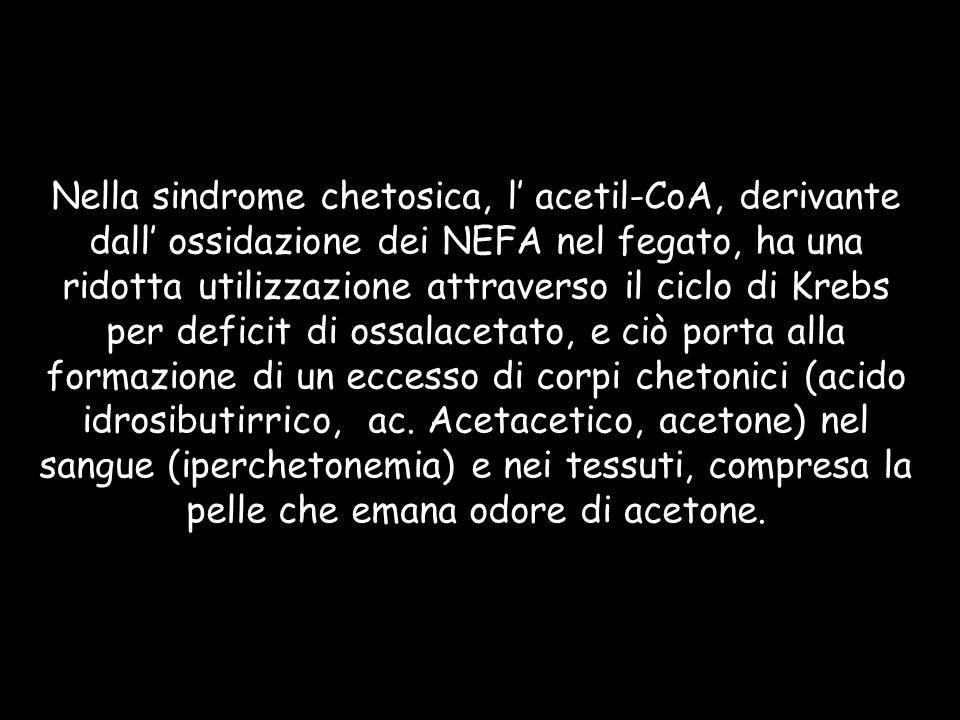 Nella sindrome chetosica, l' acetil-CoA, derivante dall' ossidazione dei NEFA nel fegato, ha una ridotta utilizzazione attraverso il ciclo di Krebs per deficit di ossalacetato, e ciò porta alla formazione di un eccesso di corpi chetonici (acido idrosibutirrico, ac.