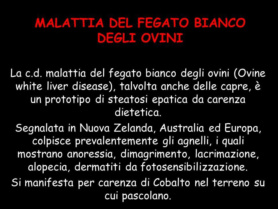 MALATTIA DEL FEGATO BIANCO DEGLI OVINI
