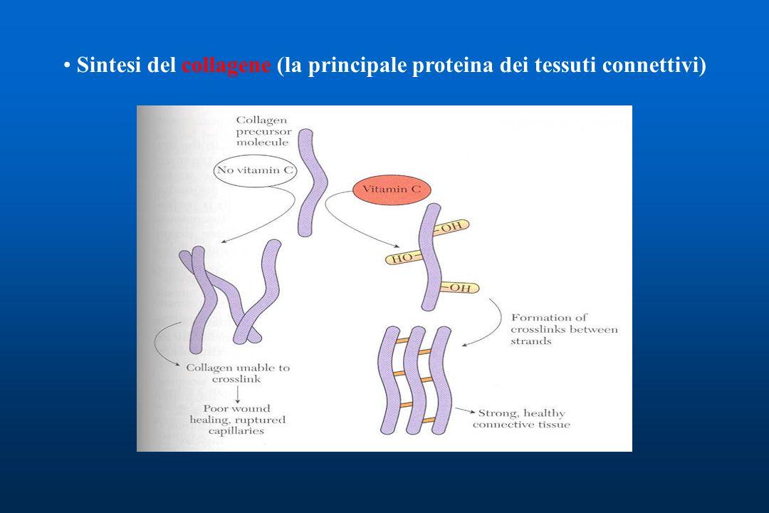 Sintesi del collagene (la principale proteina dei tessuti connettivi)