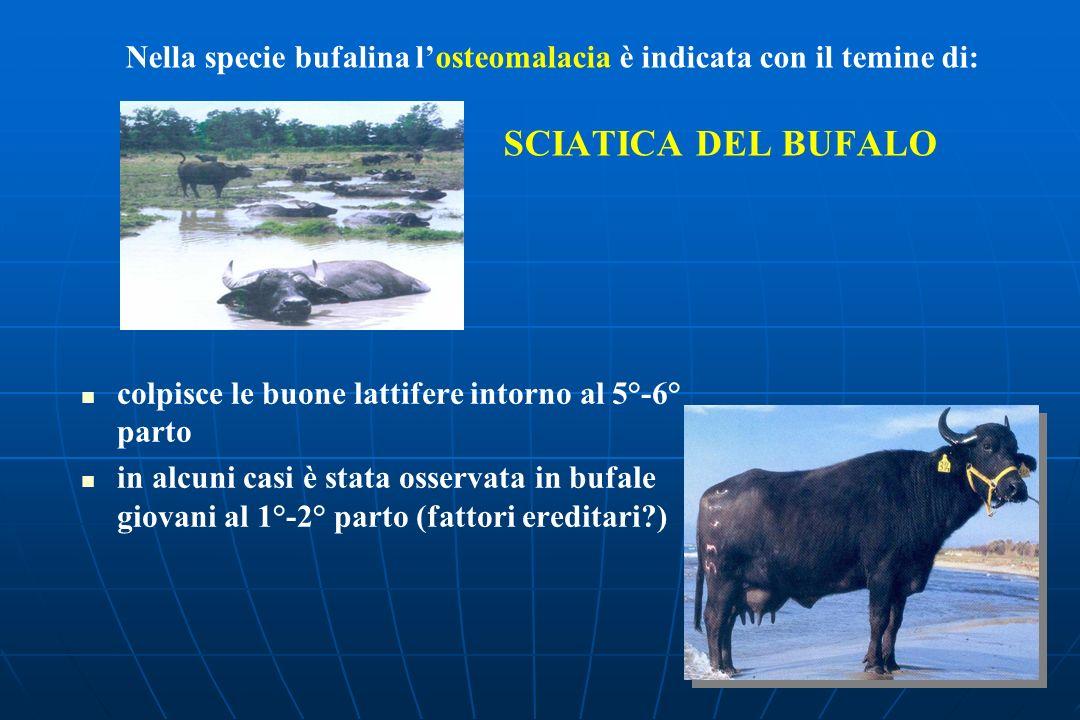Nella specie bufalina l'osteomalacia è indicata con il temine di: SCIATICA DEL BUFALO