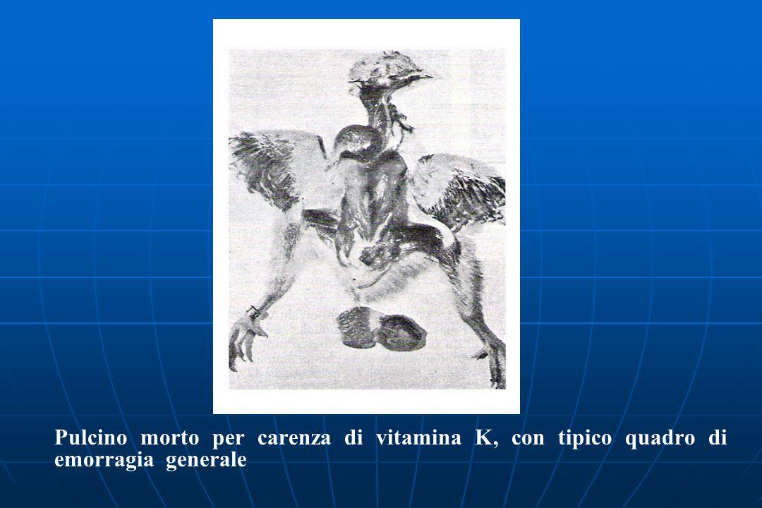 Pulcino morto per carenza di vitamina K, con tipico quadro di emorragia generale