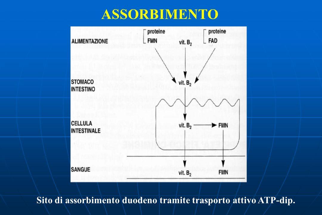 Sito di assorbimento duodeno tramite trasporto attivo ATP-dip.
