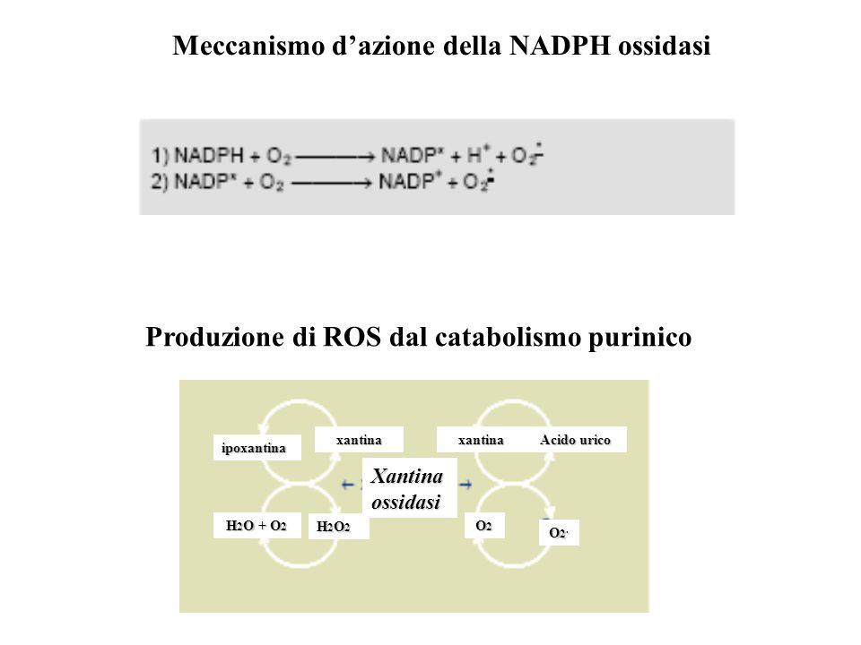 Meccanismo d'azione della NADPH ossidasi