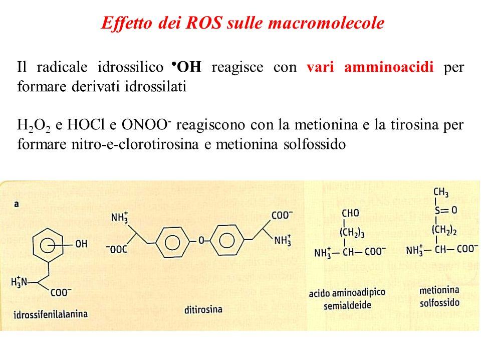 Effetto dei ROS sulle macromolecole