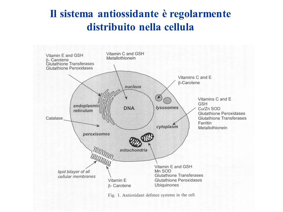 Il sistema antiossidante è regolarmente distribuito nella cellula