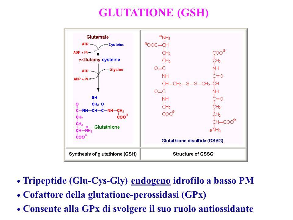 GLUTATIONE (GSH) Tripeptide (Glu-Cys-Gly) endogeno idrofilo a basso PM