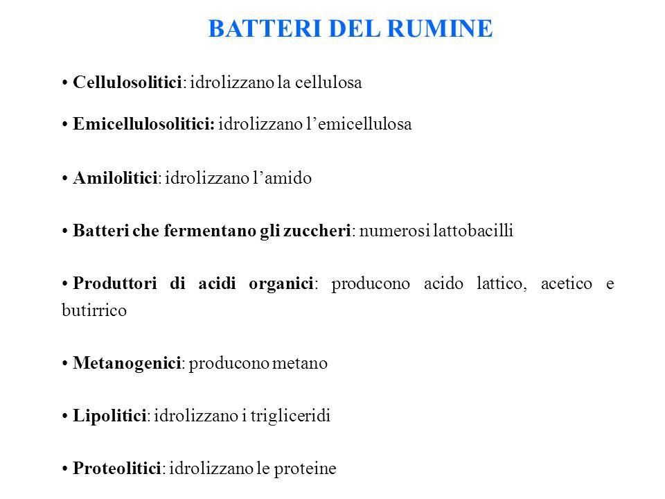 BATTERI DEL RUMINE Cellulosolitici: idrolizzano la cellulosa