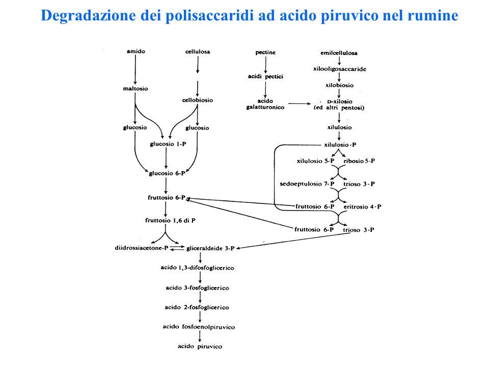 Degradazione dei polisaccaridi ad acido piruvico nel rumine