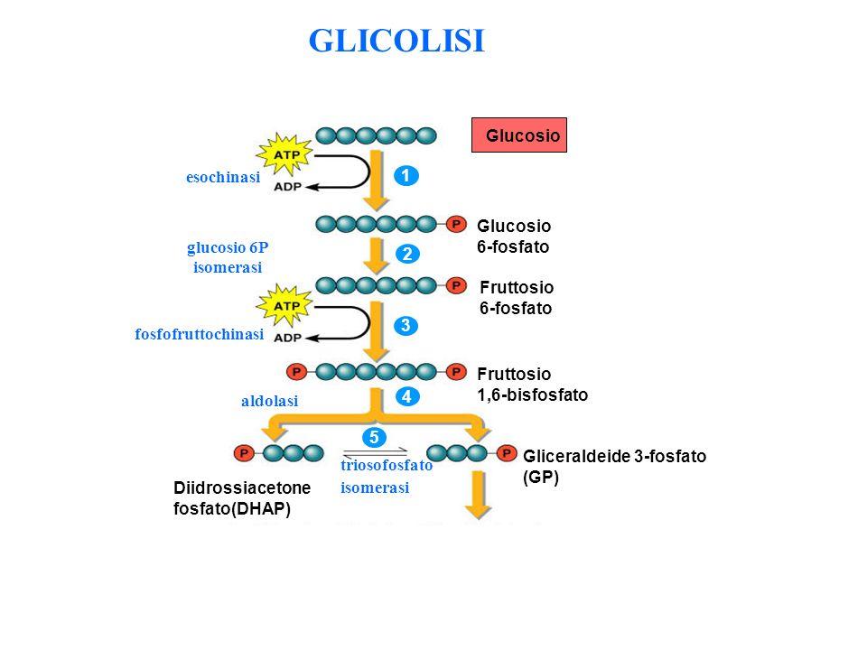 GLICOLISI Glucosio esochinasi 1 6-fosfato glucosio 6P isomerasi 2