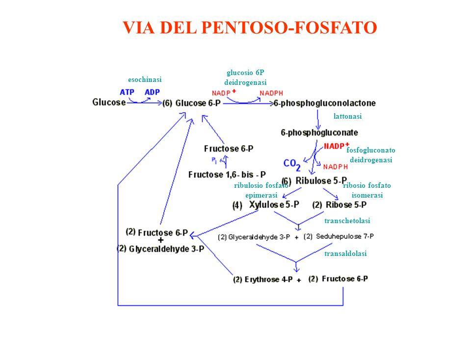 VIA DEL PENTOSO-FOSFATO