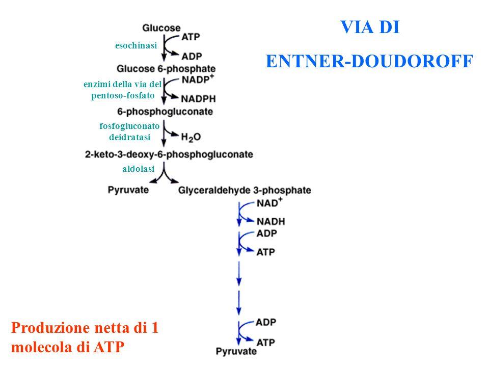 enzimi della via del pentoso-fosfato fosfogluconato deidratasi