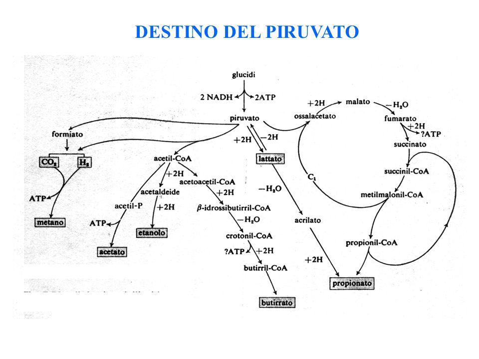 DESTINO DEL PIRUVATO