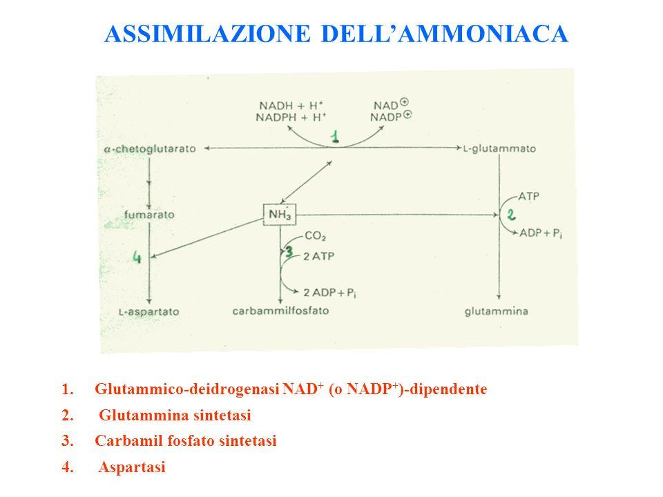 ASSIMILAZIONE DELL'AMMONIACA
