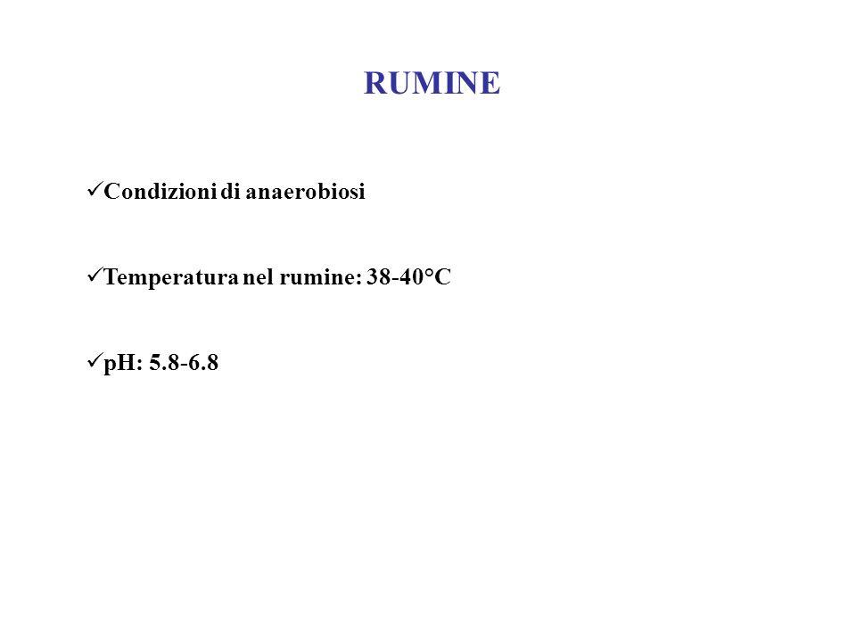 RUMINE Condizioni di anaerobiosi Temperatura nel rumine: 38-40°C