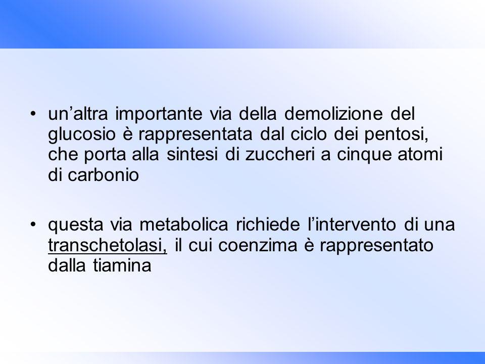 un'altra importante via della demolizione del glucosio è rappresentata dal ciclo dei pentosi, che porta alla sintesi di zuccheri a cinque atomi di carbonio