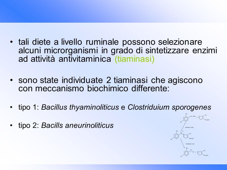 tali diete a livello ruminale possono selezionare alcuni microrganismi in grado di sintetizzare enzimi ad attività antivitaminica (tiaminasi)