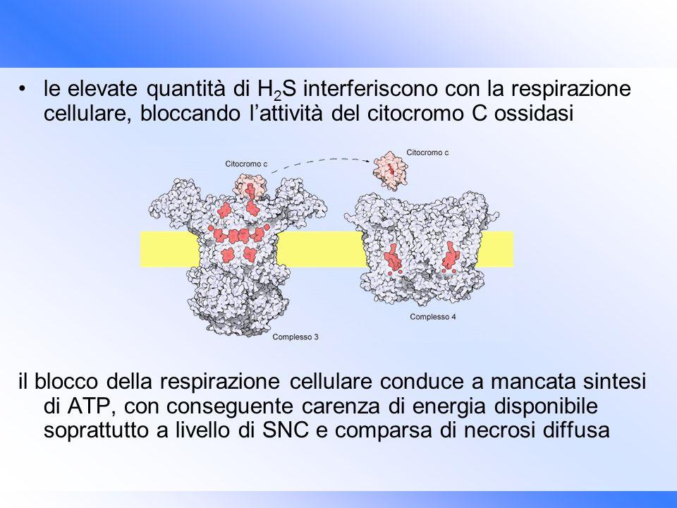 le elevate quantità di H2S interferiscono con la respirazione cellulare, bloccando l'attività del citocromo C ossidasi