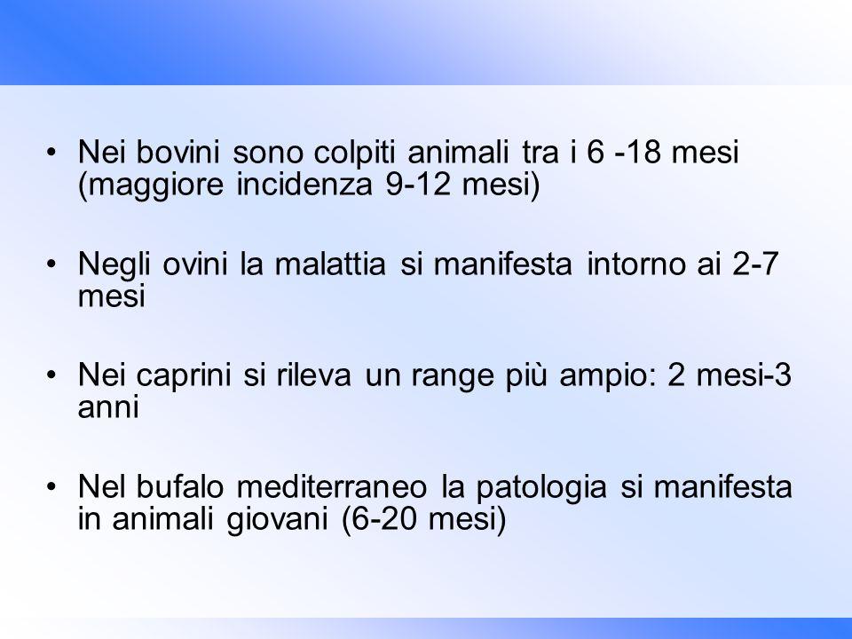 Nei bovini sono colpiti animali tra i 6 -18 mesi (maggiore incidenza 9-12 mesi)