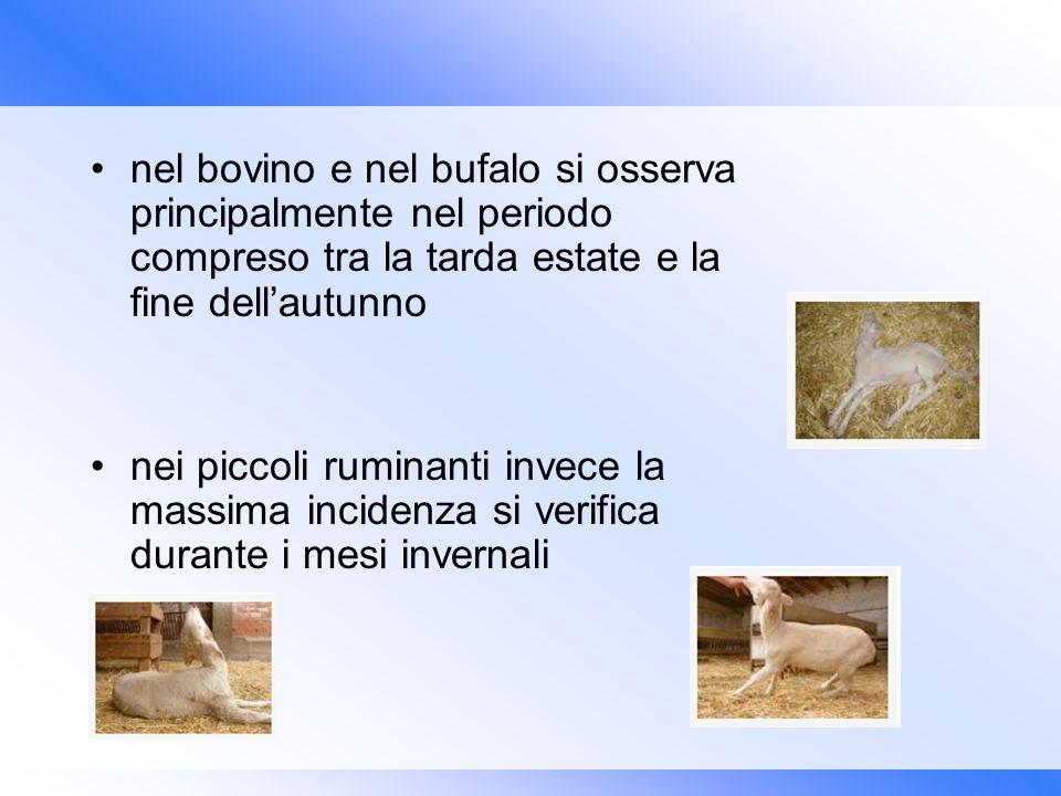 nel bovino e nel bufalo si osserva principalmente nel periodo compreso tra la tarda estate e la fine dell'autunno