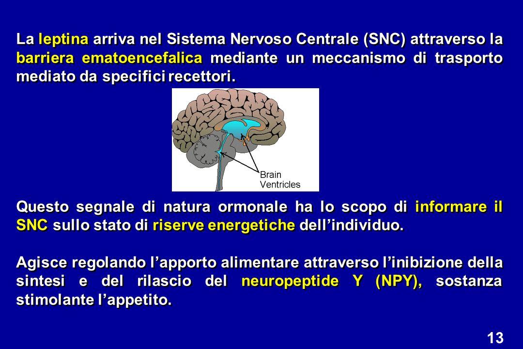 La leptina arriva nel Sistema Nervoso Centrale (SNC) attraverso la barriera ematoencefalica mediante un meccanismo di trasporto mediato da specifici recettori.
