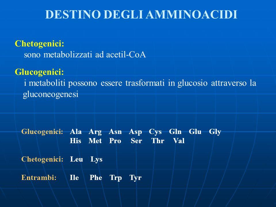 DESTINO DEGLI AMMINOACIDI