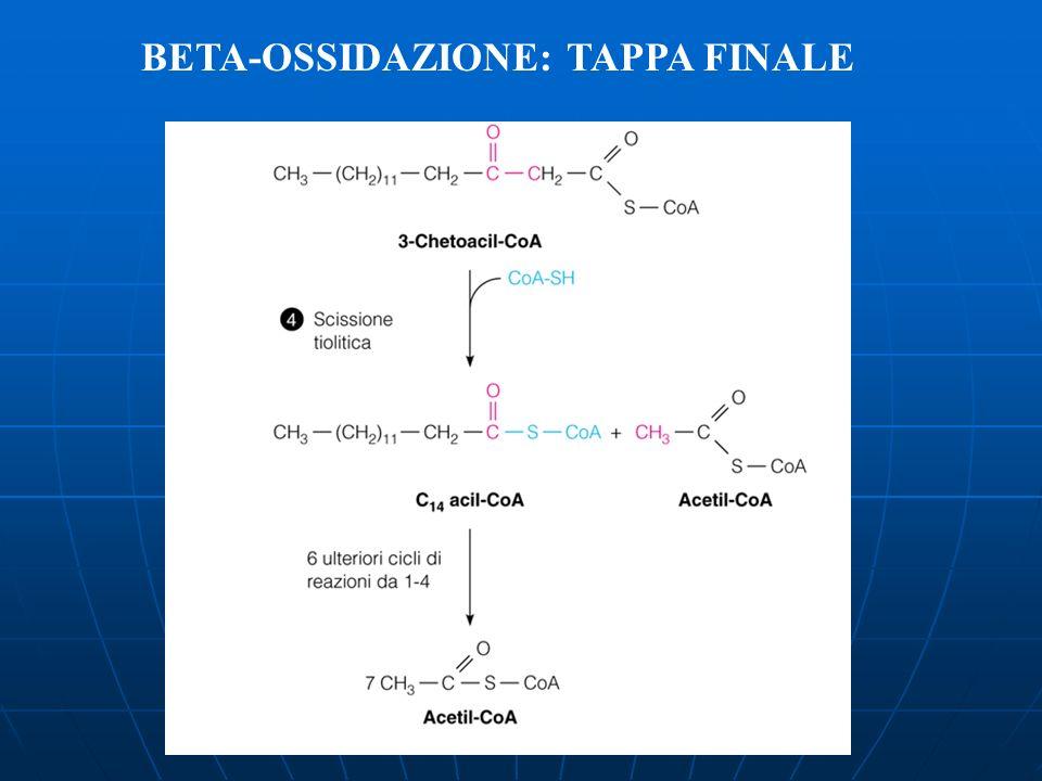 BETA-OSSIDAZIONE: TAPPA FINALE