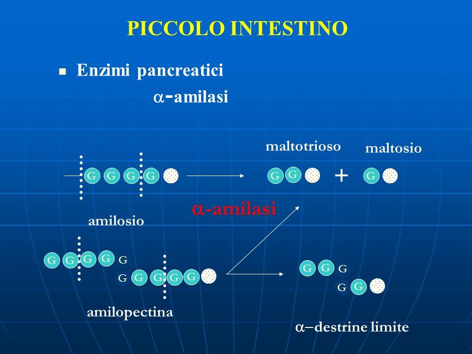 + PICCOLO INTESTINO a-amilasi Enzimi pancreatici a-amilasi maltotrioso