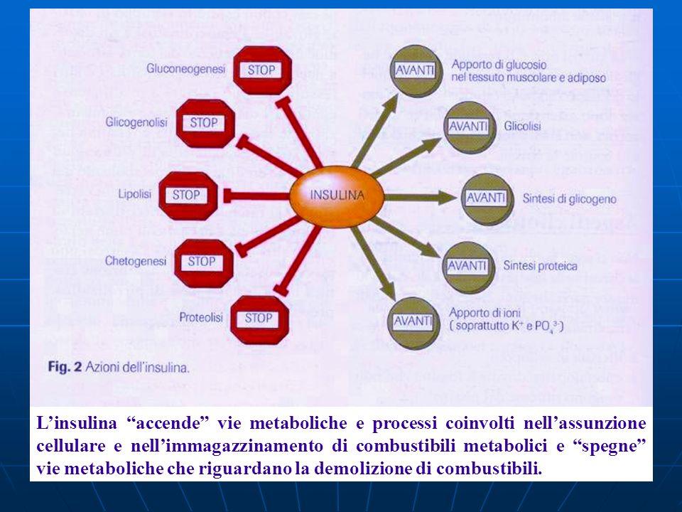 L'insulina accende vie metaboliche e processi coinvolti nell'assunzione cellulare e nell'immagazzinamento di combustibili metabolici e spegne vie metaboliche che riguardano la demolizione di combustibili.