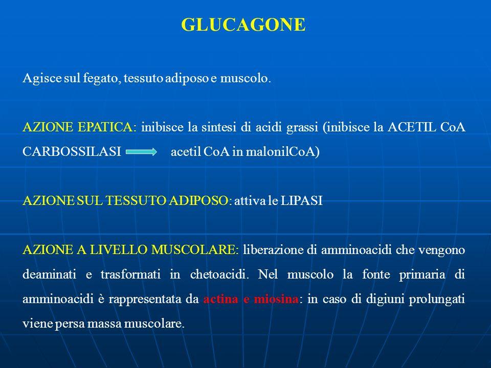 GLUCAGONE Agisce sul fegato, tessuto adiposo e muscolo.