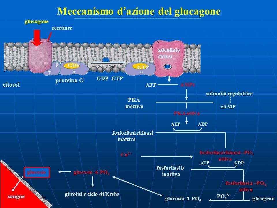 Meccanismo d'azione del glucagone