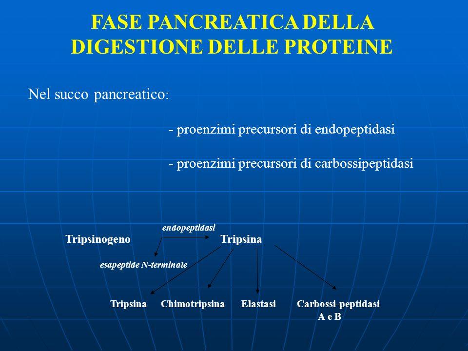 FASE PANCREATICA DELLA DIGESTIONE DELLE PROTEINE