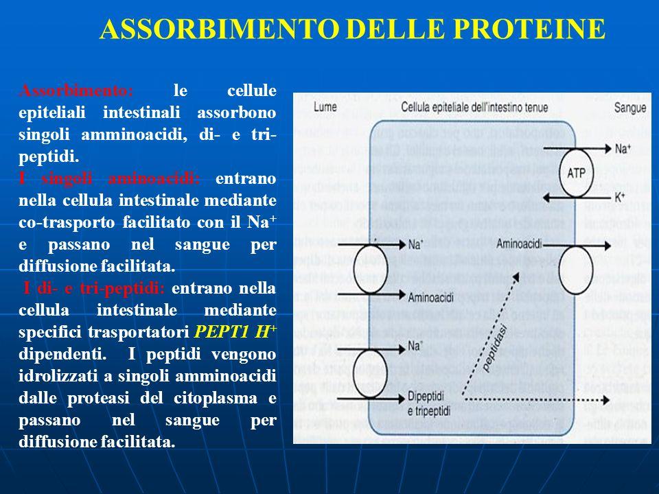 ASSORBIMENTO DELLE PROTEINE