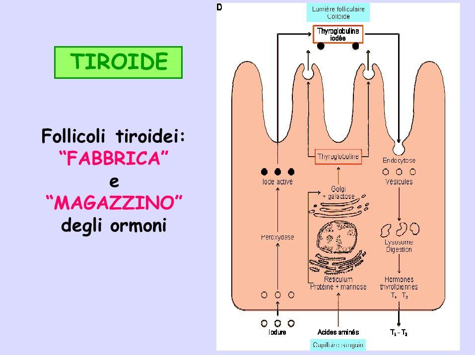 TIROIDE Follicoli tiroidei: FABBRICA e MAGAZZINO degli ormoni