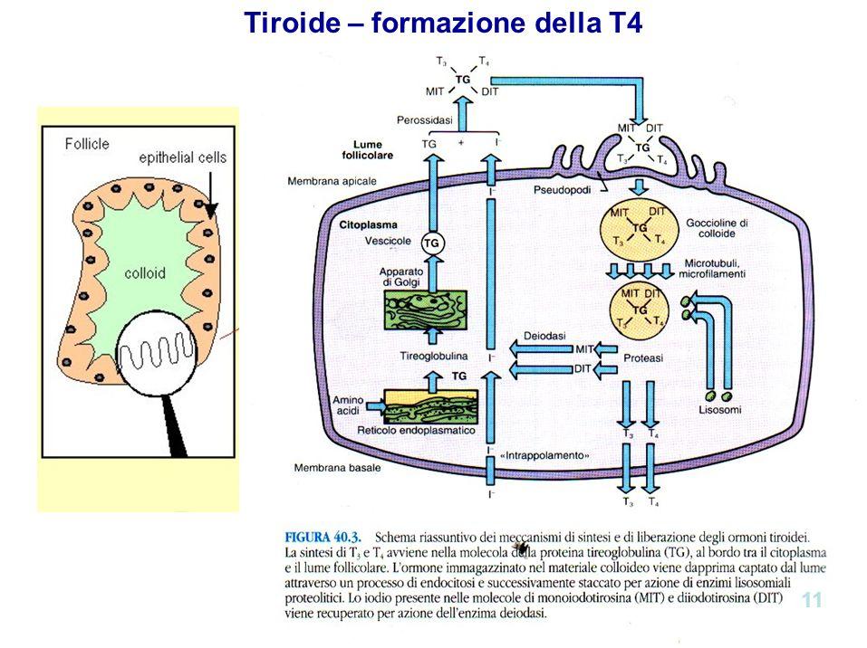 Tiroide – formazione della T4