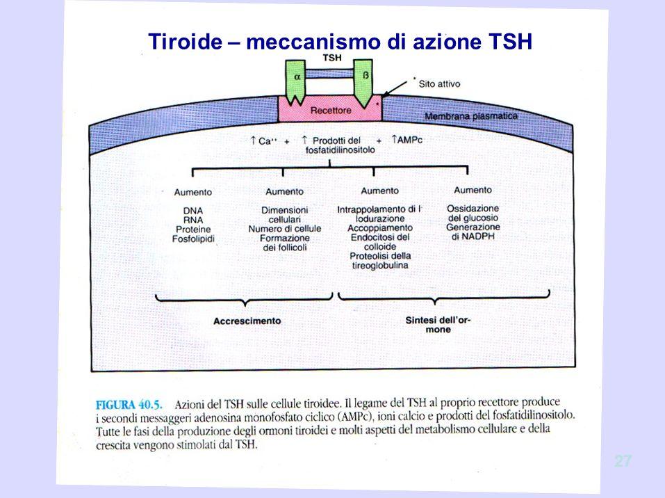 Tiroide – meccanismo di azione TSH