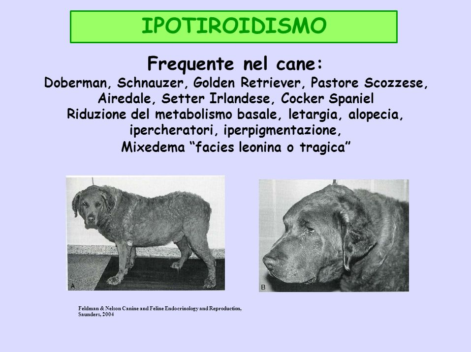 IPOTIROIDISMO Frequente nel cane: