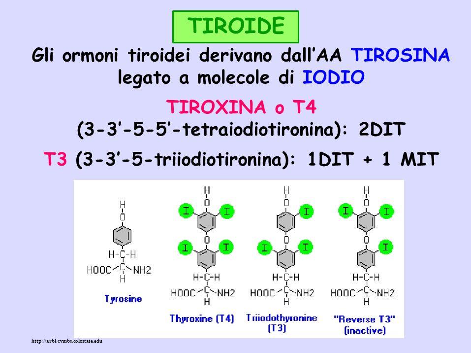 TIROIDE Gli ormoni tiroidei derivano dall'AA TIROSINA