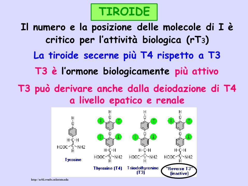 TIROIDE Il numero e la posizione delle molecole di I è