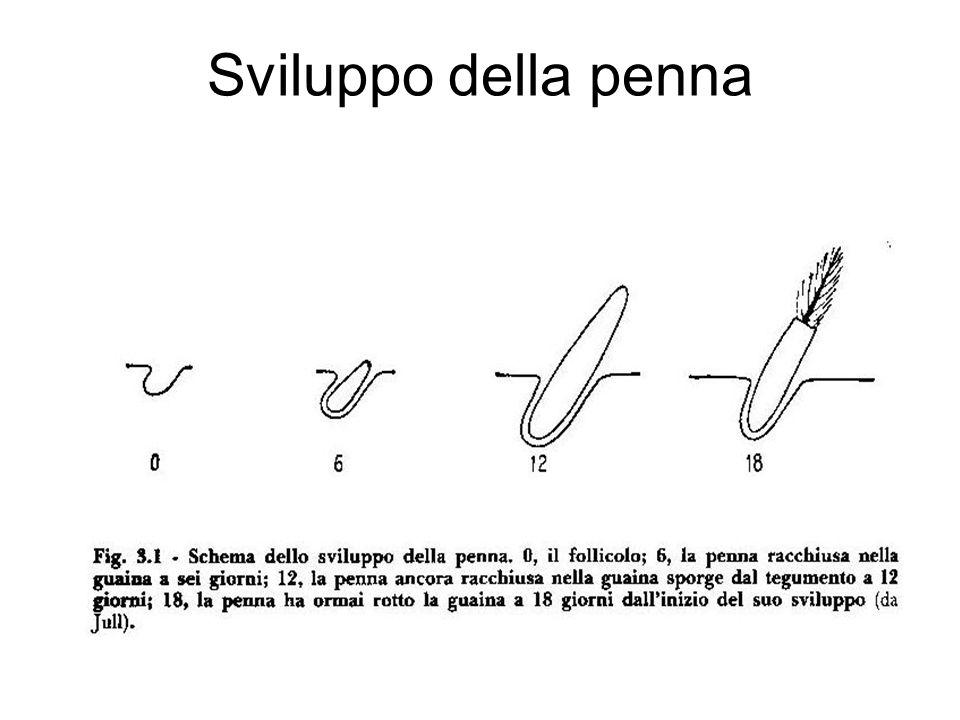 Sviluppo della penna